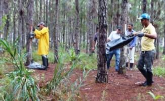 Goma-resina é um importante agregador de valor à floresta plantada de pinus na região de Vilhena