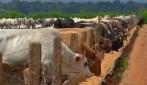 Arroba de boi gordo, custa em média, R$ 129,21, em Rondônia, diz Emater