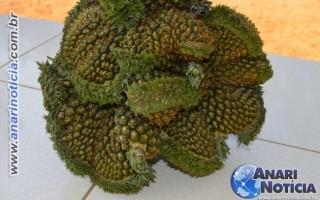 Produtor rural colhe abacaxi com dez cabeças no Vale do Anari