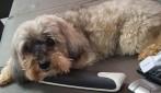 Utilidade Pública: Cadela Poodle desaparecida no bairro Boa Esperança em Rolim de Moura