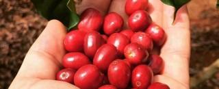Colheita do café conilon começou nesta segunda-feira em Rondônia