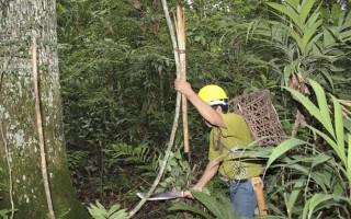 Corte de cipós nas castanheiras pode aumentar a produção em até 30%