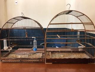 Pássaros presos em gaiolas são apreendidos em residência de Rolim de Moura