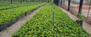 Governo de Rondônia vai investir R$ 4,1 milhões na compra de três milhões de mudas de...