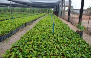 Governo de Rondônia vai investir R$ 4,1 milhões na compra de três milhões de mudas de café