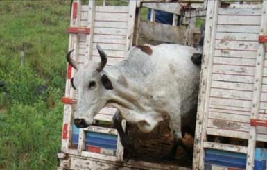 Cerca de 40 cabeças de gado são furtadas em propriedade na zona rural de Colorado