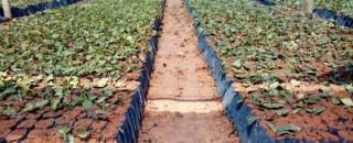Parceria entre Emater e prefeitura incentiva produtores rurais de Espigão do Oeste a plantar café clonal