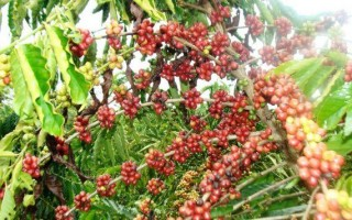 Rondônia mais que dobrou produção de café nos últimos cinco anos