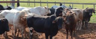 Vacinação contra febre aftosa começa no domingo em Rondônia; produtores têm até 22 de novembro para...