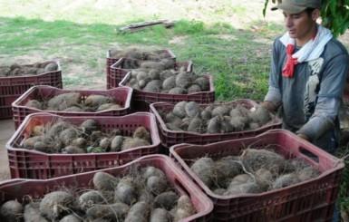 Aumento da produção de inhame traz boas perspectivas para a economia de Rondônia
