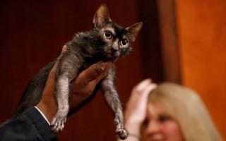 Nova raça de gato 'parecido com lobisomem' é apresentada nos EUA
