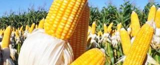 Preço do milho pode disparar em Rondônia