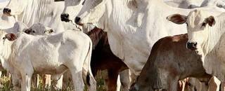 Exportação de gado vivo em ascensão