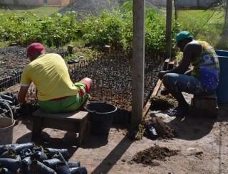 Mudas cultivadas por apenados são plantadas nos canteiros de ruas, em Rolim de Moura