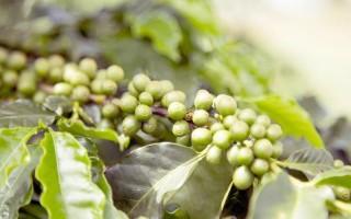 Exportação de café verde registra queda de 8,4%
