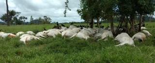 Raio mata 103 bois e deixa prejuízo de R$ 130 mil a fazendeiro de Cacoal
