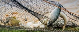 Rondônia mantém-se no ranking da produção de peixe e com licenciamento rápido e sem burocracia dos...