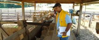 Vacinação assistida contra aftosa vai imunizar 130 mil cabeças em 2.500 propriedades de Rondônia