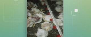 Mais de 1 mil frangos morrem por falta de ração em Rolim, Pimenta, Espigão e Andreazza
