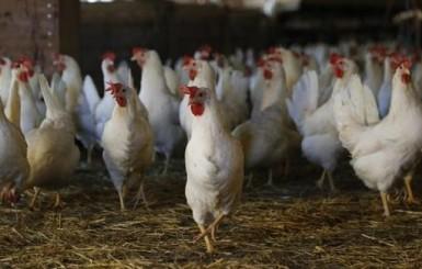 Cotação do frango vivo retorna aos tempos da greve