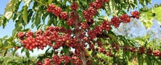Melhores cafés de Rondônia serão premiados no 3º Concafé, em Cacoal