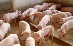 Ministério toma providências para evitar entrada de peste suína no Brasil