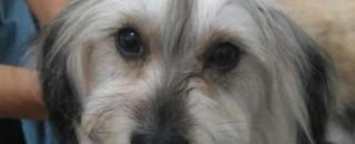 Utilidade Pública: Família procura por cachorrinha Poodle desaparecida no Jatobá I