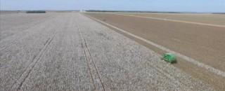 Cultivo de algodão geneticamente modificado poderá gerar novos empregos e aquecer economia de Vilhena