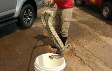 Jiboia de 2 metros é achada no motor de caminhonete em concessionária