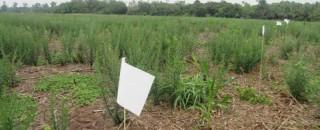 Plantas daninhas ameaçam lavouras de grão no interior do Cone Sul; pesquisa em Cerejeiras tenta achar...