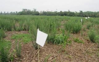 Plantas daninhas ameaçam lavouras de grão no interior do Cone Sul; pesquisa em Cerejeiras tenta achar solução