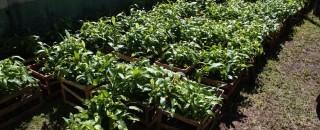Mudas de castanha são entregues a extrativistas em programa de economia sustentável em RO