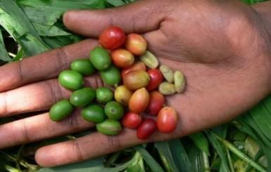 60% das espécies de café do mundo correm risco de extinção, diz estudo pioneiro