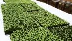 Produtores rurais de Rolim de Moura realizam visita técnica em Vilhena