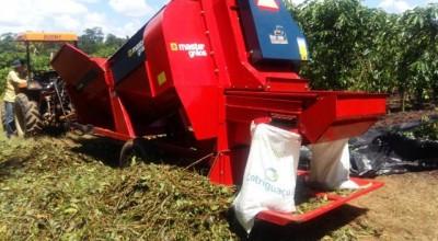 Cacoal inova na produção do café com colheita mecanizada