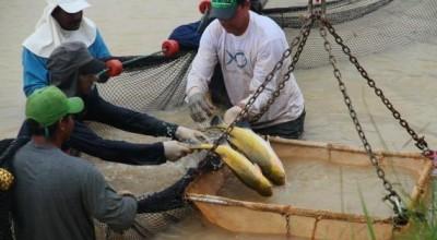 Rondônia pode movimentar R$ 13 bilhões por ano com produção de peixes