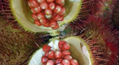 Cresce interesse por cultivo de urucum na região do Vale do Guaporé