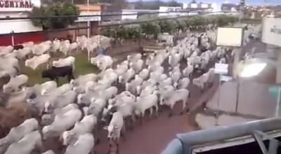 Vídeo de boiada andando em avenida de Alto Alegre viraliza na internet