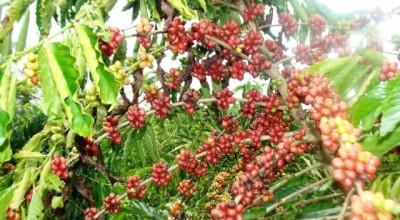 Produção de café, inhame e outras culturas serão incentivadas na 6ª Rondônia Rural Show