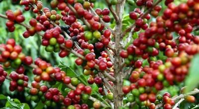 Senador Raupp e deputada Marinha pedem a ministros a  suspensão de  importação do café