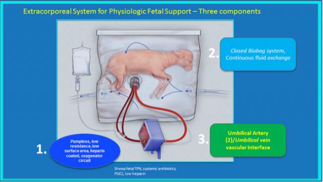 Uma ovelha está crescendo em um útero artificial; bebês são próximo passo