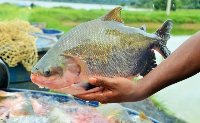 Exposição de Piscicultura do Vale do Jamari mostra excelência do setor, amplia mercado e alerta contra parasitoses
