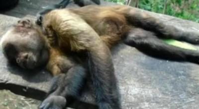 Macacos encontrados mortos em Rolim, Pimenta, Cacoal e Santa Luzia são diagnosticados com febre amarela