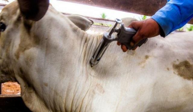 Em Cacoal, cerca de 200 mil animais já foram vacinados contra febre aftosa