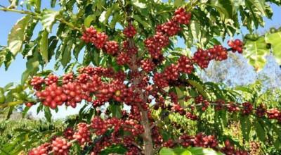 Café de Rondônia terá certificado de origem geográfica