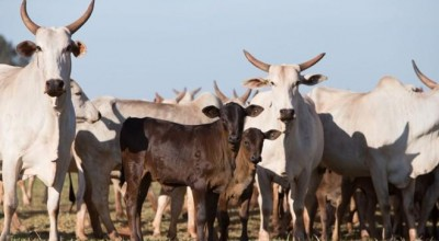 Abate de bovinos no Brasil cresce pelo 2º ano em 2018; de suínos