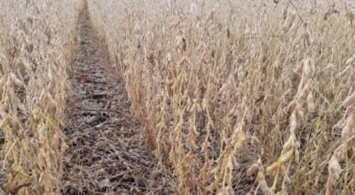 Com boa produtividade, colheita de soja está na reta final em Cerejeiras e atrasa nas lavouras de Corumbiara