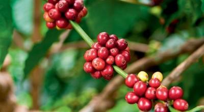 Programa de Prevenção melhora produção de mudas de café em RO