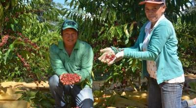 Alta Floresta:  Pesquisa ajuda indígenas a produzir café com qualidade