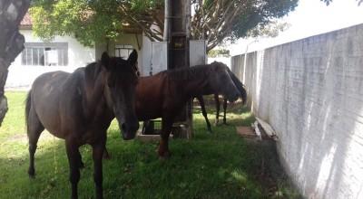 Rolim de Moura- Centro de Zoonoses captura animais que estavam soltos na RO-010